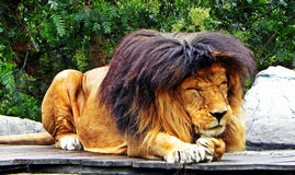 A male lion takes a nap Royalty Free Stock Images