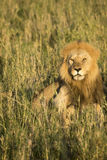 Male lion in tall grasses, Serengeti, Tanzania Stock Photos