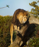 Male lion on a tree Stock Photography