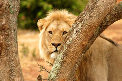 Male lion between trees Stock Photo