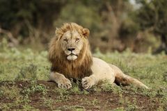 Male Lion. A Male Lion waits for the chilly morning air to warm Stock Image