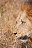 Male lion walk in brown gras Stock Photos