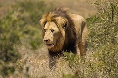 Male Lion walking. A male lion walks through the bushes royalty free stock image