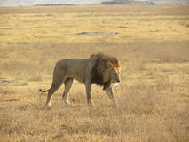 Male Lion Walking across African Plain Royalty Free Stock Image