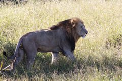 Male Lion. A male lion walking against the wind in yellow savannah grass Stock Image