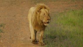 Male lion walking alone royalty free stock photo