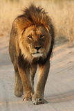 Male lion walking down the road Royalty Free Stock Photos