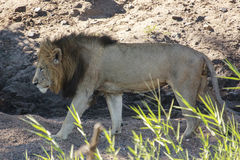Male Lion. A male lion walking in a dry river bed Stock Photo