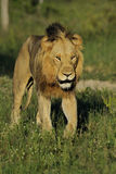Male lion walking Royalty Free Stock Photography