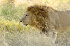 Male lion walking in the grassland Stock Photos
