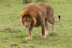 A male lion walking in the Maasai Mara. A male lion walking on the grasslands of the Maasai Mara Stock Image
