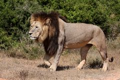 Male Lion Walking Stock Photos