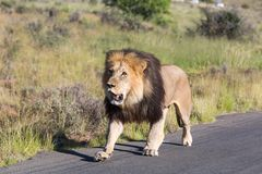 Male Lion Walking Royalty Free Stock Images