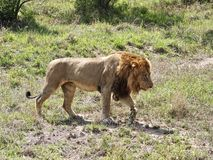 Male lion walking Stock Images