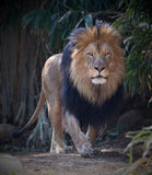 Male lion walking Royalty Free Stock Photo