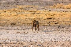Male lion walking. At sunset in desert savannah Etosha National Park, Namibia, Africa Stock Images
