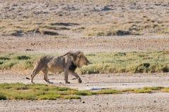Male lion walking. Male Lion (Panthera leo) walking in early morning light, Etosha National Park, Namibia royalty free stock images