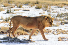 Male lion walking saltpan Royalty Free Stock Photography