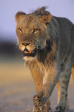 Male Lion walking on savannah Stock Photography