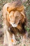 Male lion walking. Single male lion Panthera leo walking in the sun at Maasai Mara National Park, Kenya Stock Images