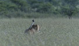 Male Lion walking in tall grass with tail held high royalty free stock photography