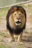 Male lion walking toward camera Stock Photos