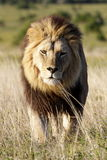 Male lion walking towards the camera. A male lion portrait. Golden sunlight ignite his intense eyes. South Africa stock image