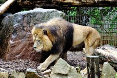 Male lion walking in the zoo Stock Photos