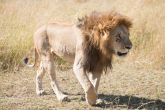 Male lion walks head down across savannah Royalty Free Stock Image