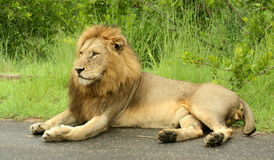 Male Lion. The male lion was resting in the road on the Malelane to Skukuza road in the Kruger Park. It was early in the morning Stock Image