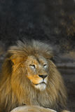 Male lion watching Royalty Free Stock Image