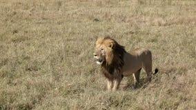 A male lion advances on  a rival male in masai mara, kenya. A male lion watching a rival male in masai mara game reserve, kenya stock image