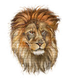 Male lion on white Stock Images