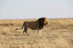 Male Lion in the wild maasai mara Royalty Free Stock Photos