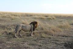 Male Lion in the wild maasai mara Stock Photo