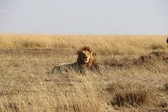 Male lion in the wild. In masai mara national reserve royalty free stock image