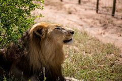 Male Lion With Eyes Closed Royalty Free Stock Photo