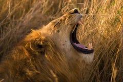 Male Lion Yawning Royalty Free Stock Image