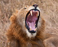 Male lion yawning Stock Images
