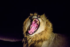 Male Lion yawning in the dark Stock Image