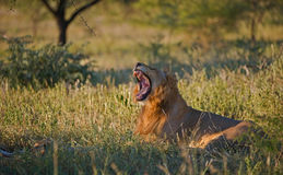 Male lion yawning in the Kruger Park, South Africa. A lovely young male lion gives a big yawn in the Kruger National Park, South Africa royalty free stock image