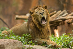 The male lion yawning. In the park Stock Image