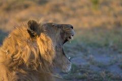 Male lion yawning. Male lion yawning and showing impressive fangs at sunset in Botswana Africa. Okavango Delta stock photo