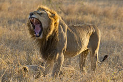 Male Lion yawning, South Africa Stock Image