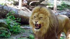 Male lion in zoo de Beauval Royalty Free Stock Photography