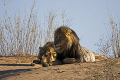 male lions Royaltyfri Bild