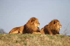 Male lions Royalty Free Stock Image