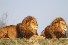 Male lions Stock Photo