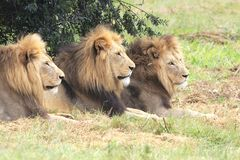 Male Lions Royalty Free Stock Photo