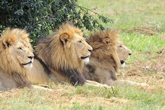 Male Lions Stock Photography